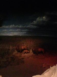 Buffalo from Garden Grill, Epcot